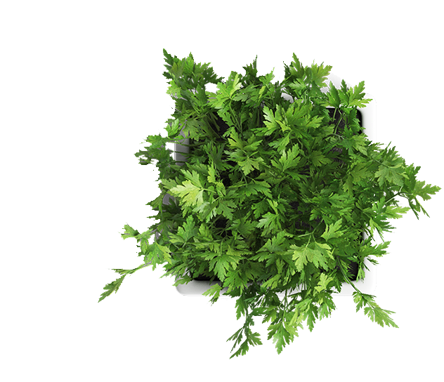 coriander_plant_micro_herb